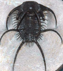 Ceratarges_spinosus_fossil_trilobite_Maroc (707x800) - Copy
